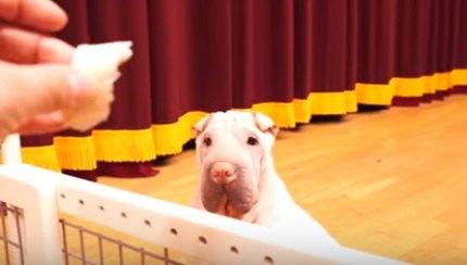 検証!オヤツの前に仕切りが立ちはだかったら犬たちはどうする?