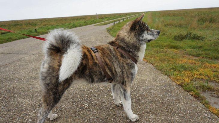秋田犬の虎毛とは?特徴、性格、毛色の種類や値段について