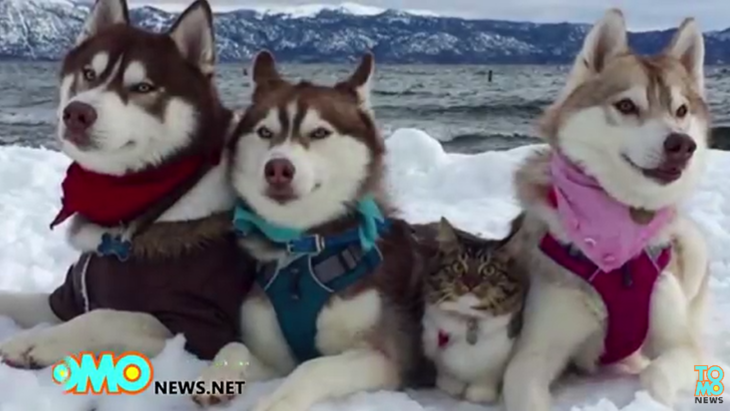 ハスキーに育てられた仔猫、本当の家族のような姿に感動!(まとめ動画)