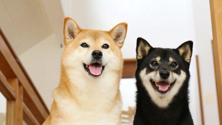 日本犬は認知症になりやすい?理由とやりたい対策