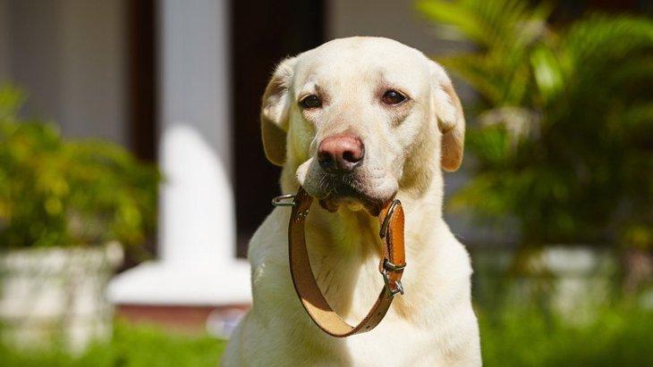 犬の首輪のおしゃれで人気のおすすめランキングTOP10!その選び方と注意点