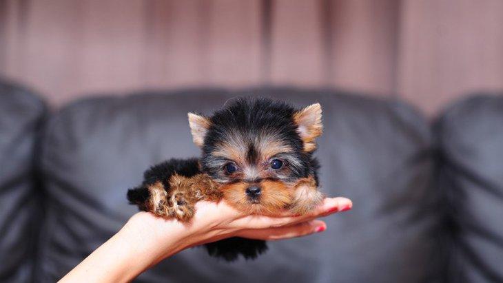超小型犬はかわいいけど…ティーカップサイズの犬が持つリスクとは