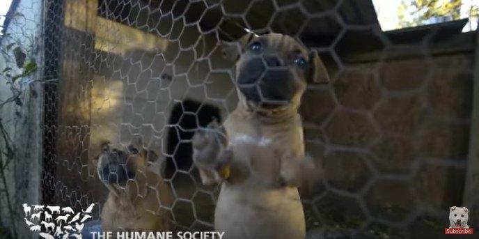 現行犯逮捕!31頭をレスキューした闘犬繁殖施設摘発の1例