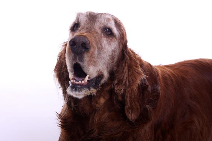 犬の年齢ギネス記録一覧!人間の年齢だといくつ?
