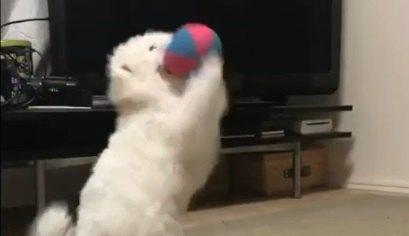 ボールをキャッチしたい!練習に取り組む赤ちゃんわんこ