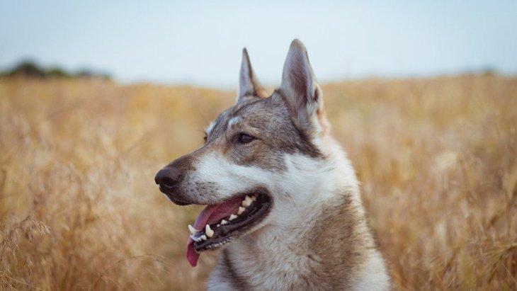 古代の犬のDNA分析からわかった『1万1千年前の犬の多様性』