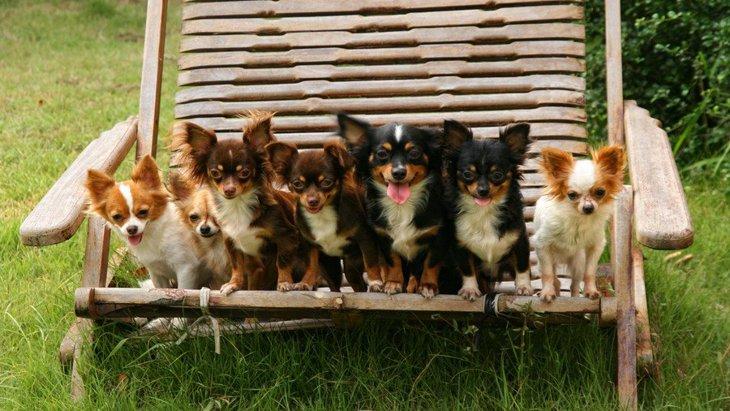 チワワの成犬の大きさや体重、餌の量やしつけ方について