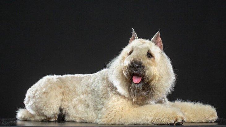 ブービエデフランダースってどんな犬種?性格や特徴、価格や飼い方まで