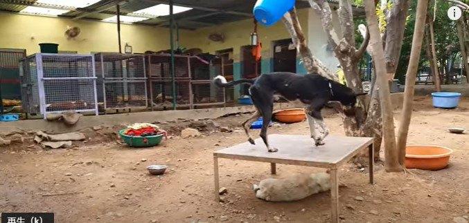 立つことが出来ない犬。完治は難しいと思う程の状態から見事回復!