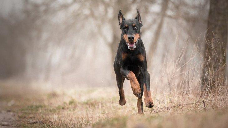 犬のドーベルマンの性格と特徴、歴史やしつけ方法まで