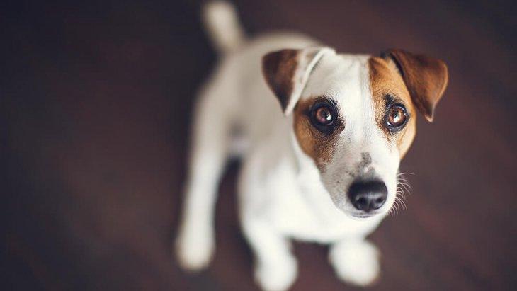 愛犬が飼い主をみつめてくる4つの理由