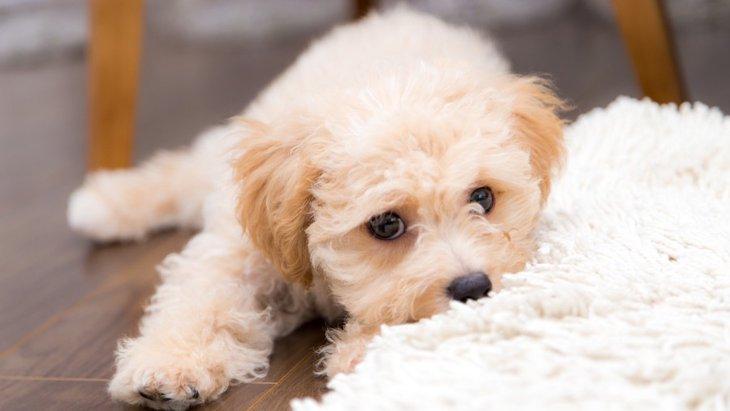 犬がクーンと鳴く時の心理とは?