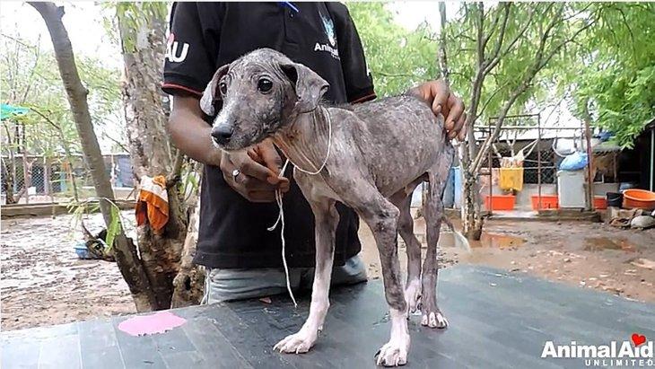 疥癬と足を負傷した仔犬、保護され驚きの姿に!