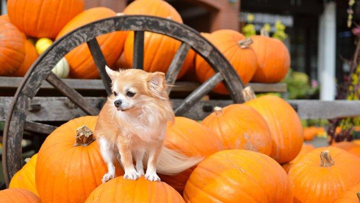犬はかぼちゃを食べても大丈夫?与え方や栄養、簡単レシピまで