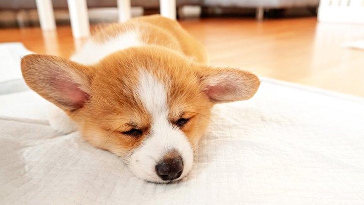 犬がトイレシートの上で寝てしまう原因3選!やめさせるための対処法は?