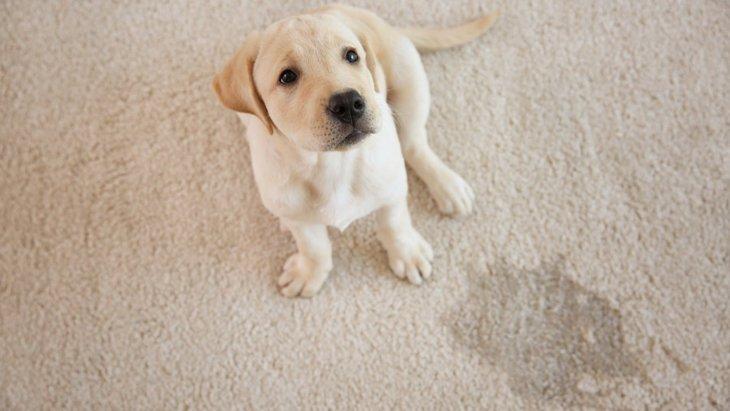 犬が粗相をしてしまう5つの原因とやめさせる方法