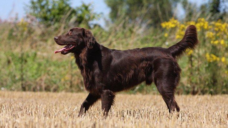 フラットコーテッドレトリバーの性格や特徴、ブリーダーから子犬の値段まで