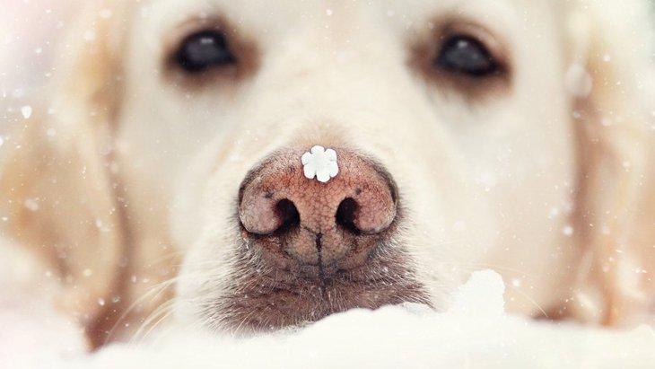 犬の鼻が薄くなる『ウィンターノーズ』とは?悪影響はあるの?