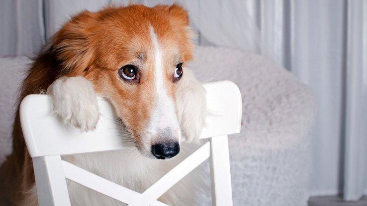 犬が叱られた後に飼い主を見つめる理由