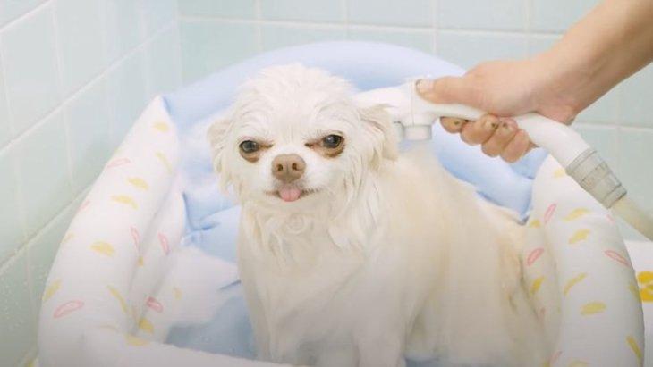 絶対にお風呂出たくない!極楽気分のチワワちゃんがかわいい