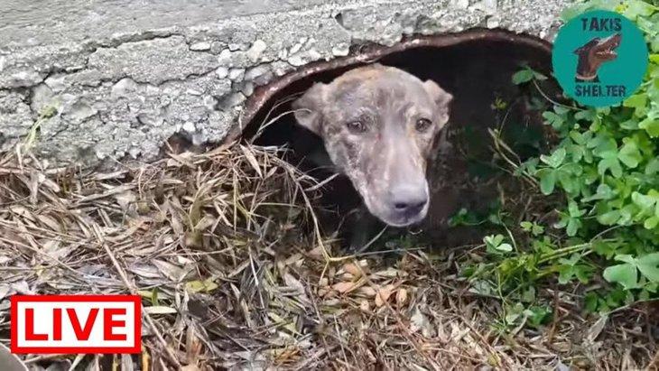 子犬たちを取り上げられた母犬は、1人傷心で穴にこもっていた