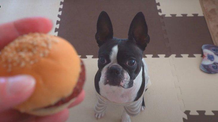 初めての馬肉ハンバーガーを食べて美味さに驚くボストンテリアちゃん♡