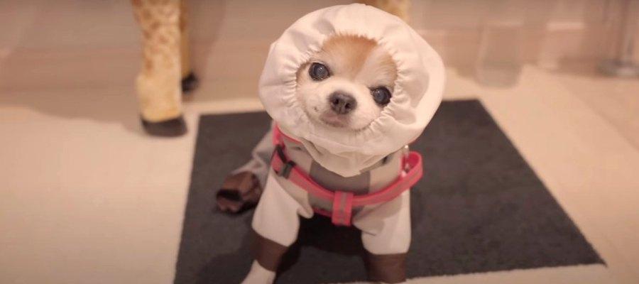 レインコートを着て雨の中お散歩に行くお姉ちゃんチワワ♡