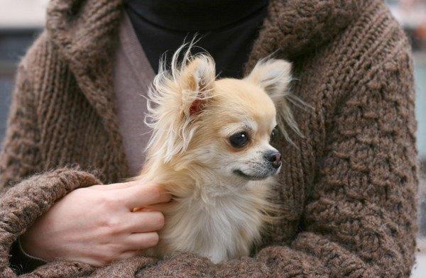 チワワの子犬をブリーダーから購入する方法と育て方の基本