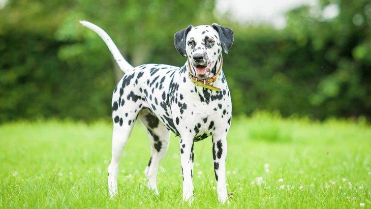 短毛な犬種3選!特徴や飼育時の注意点まで