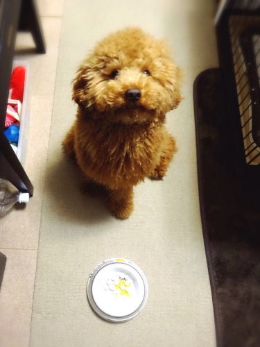 子犬が起こしやすい食事トラブルについて~予防と対処法~