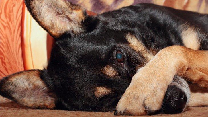 犬が前足で目を隠す3つの理由