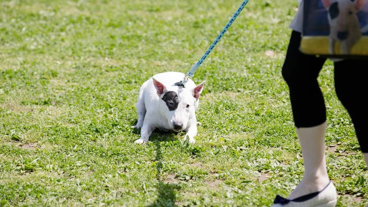 もう帰ろうよ…。犬が散歩から帰りたがらない理由と対処法