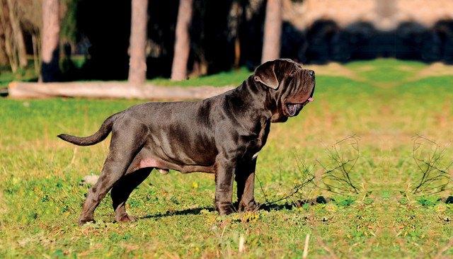 ナポリタンマスティフってどんな犬?性格や特徴、値段や飼い方まで