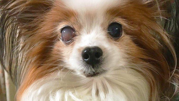 愛犬の失明は突然起こる?自宅で出来る3つチェック法~我が家の緑内障闘病記~