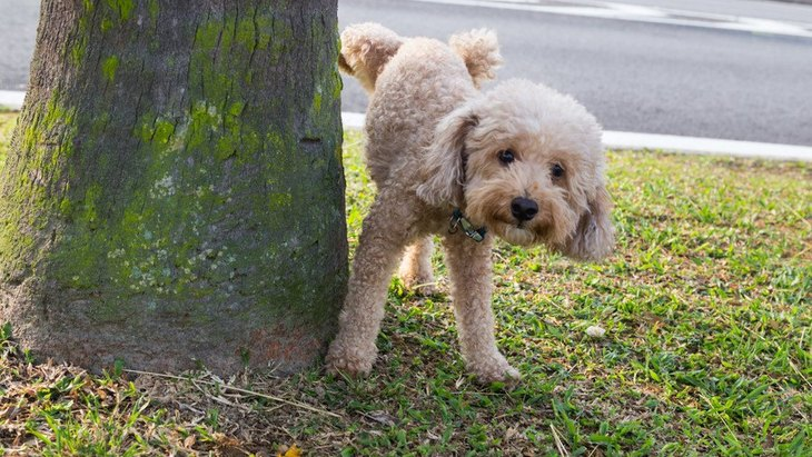 お出かけに大活躍!犬のマナーベルトの役割と選び方