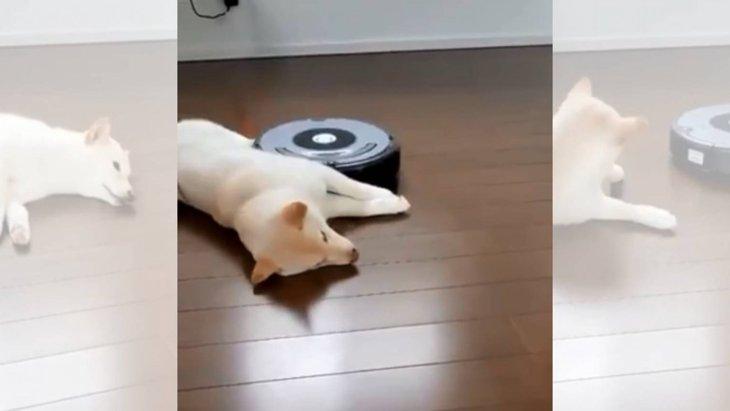 「ん?お掃除ロボット?」動じない柴犬さんの大物っぷりが半端ない!