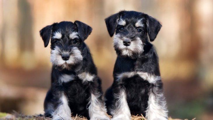 「ミニシュナ」こと、ミニチュアシュナウザーってどんな犬?その性格や特徴、人気のわけとは