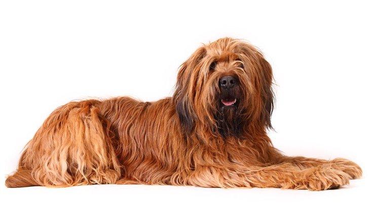 ブリアードの性格と特徴、寿命から子犬の値段まで