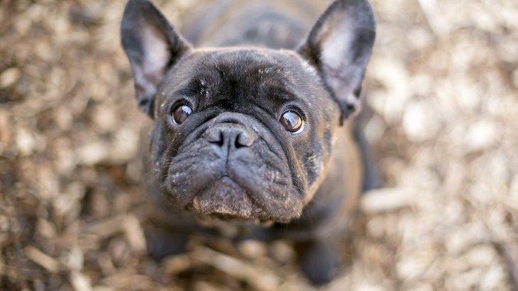 犬の短いマズルと尻尾のねじれに関連する遺伝子の変異発見