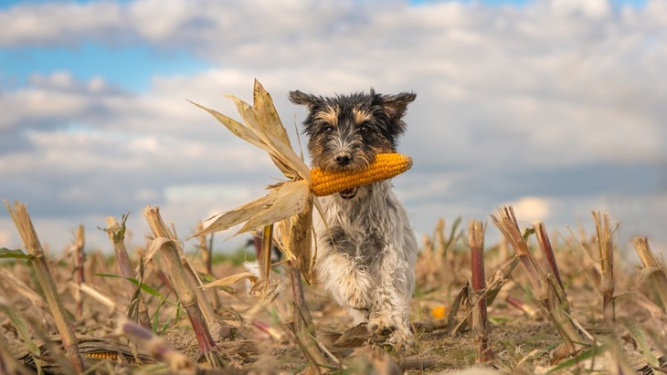 穀物が犬に与える効果と影響について