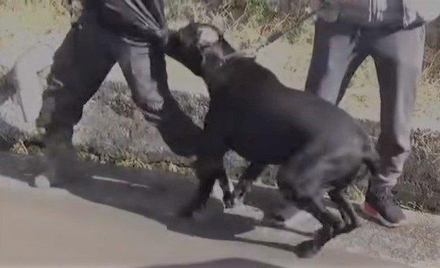 驚きの変化!襲いかかる大型犬カネ・コルソのトレーニング経過