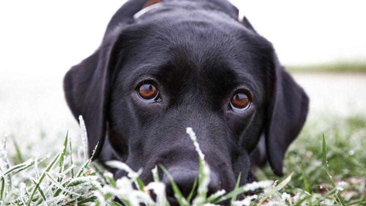 犬が叱られてる最中に上目遣いをしてくる2つの心理
