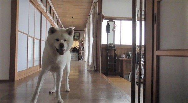 秋田犬くんが楽しく遊ぶ可愛い動画で癒される〜♡
