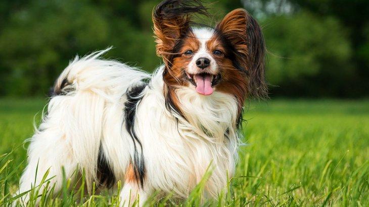 「バタフライイヤー」とは?主な特徴と代表的な犬種