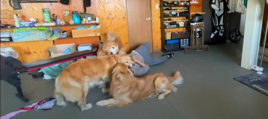 「猛犬(?)に襲われたらするべき事」ゴールデンレトリバー達が検証