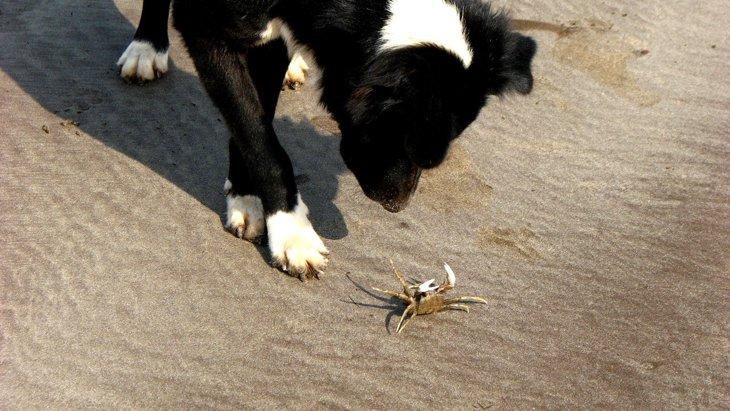犬に『蟹』をあげても大丈夫?やるべき下準備やNGな与え方を解説
