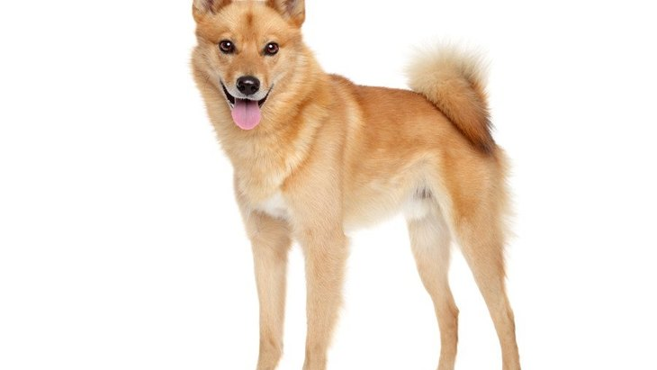 フィニッシュスピッツってどんな犬?性格や特徴、価格の相場や歴史まで