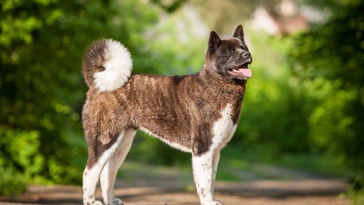 アメリカンアキタの性格や特徴!秋田犬との違いはあるの?