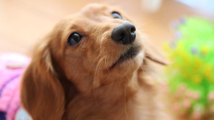室内犬がテリトリーを守って吠えるときの対処法