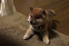ころっころの柴犬パピー♡一生懸命おもちゃで遊ぶ姿が永遠に見ていられる可愛さ♡